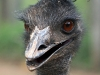 billabong_zoo_emu_portrait.jpg