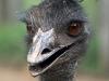billabong_zoo_emu_portrait.jpg