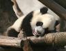 panda-cub-relaxing.jpg