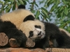 panda-cubs-relaxing-together.jpg