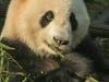 panda-feeding-portrait.jpg