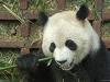 panda-feeding.jpg