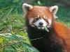 panda-red.jpg