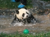 panda-swimming-well-maybe.jpg