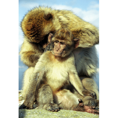Barbary Apes, Gibralta|http://sebire.id.au/photos/Europe/Spain/Gibralta/index.html